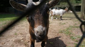 Goats at Ravenwood Hall Hotel Secret Stays